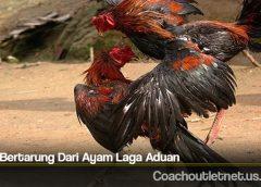 Gaya Bertarung Dari Ayam Laga Aduan